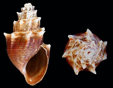 Mieniplotia scabra (O. F. Müller, 1774) Thiara_scabra%20128