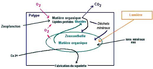 Symbiose polype  algue (corail), zooxanthelle