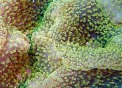 Corallimorphaire : Actinodiscus