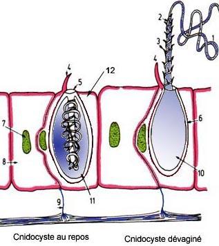 Schéma d'un cnidocyste (D'après Les coraux de B. Robin, C. Petron et C. Rives)