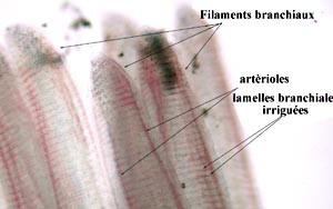 lame et filaments branchiaux